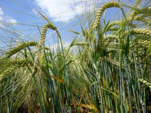 Оптовая покупка семян ярового ячменя в Украине